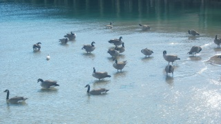 Canadian Geese in Harbor