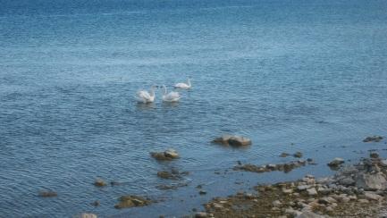 Lake Huron Wild Swans