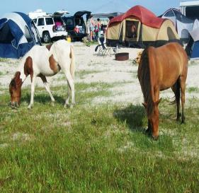 Grazing in the Campsite