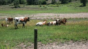 Neighboring Longhorns